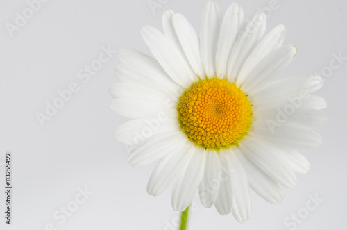 Chamomile white flower isolated on white background matricaria chamomile white flower isolated on white background matricaria mightylinksfo
