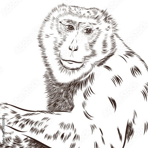 Fotobehang Hand getrokken schets van dieren Chimpanzee drawing vector. Animal artistic, use for your design.