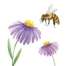 Watercolor Background With Violet Asters Flower And A Bee.