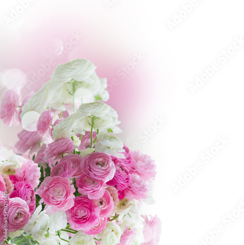 obraz lub plakat Pink and white ranunculus flowers