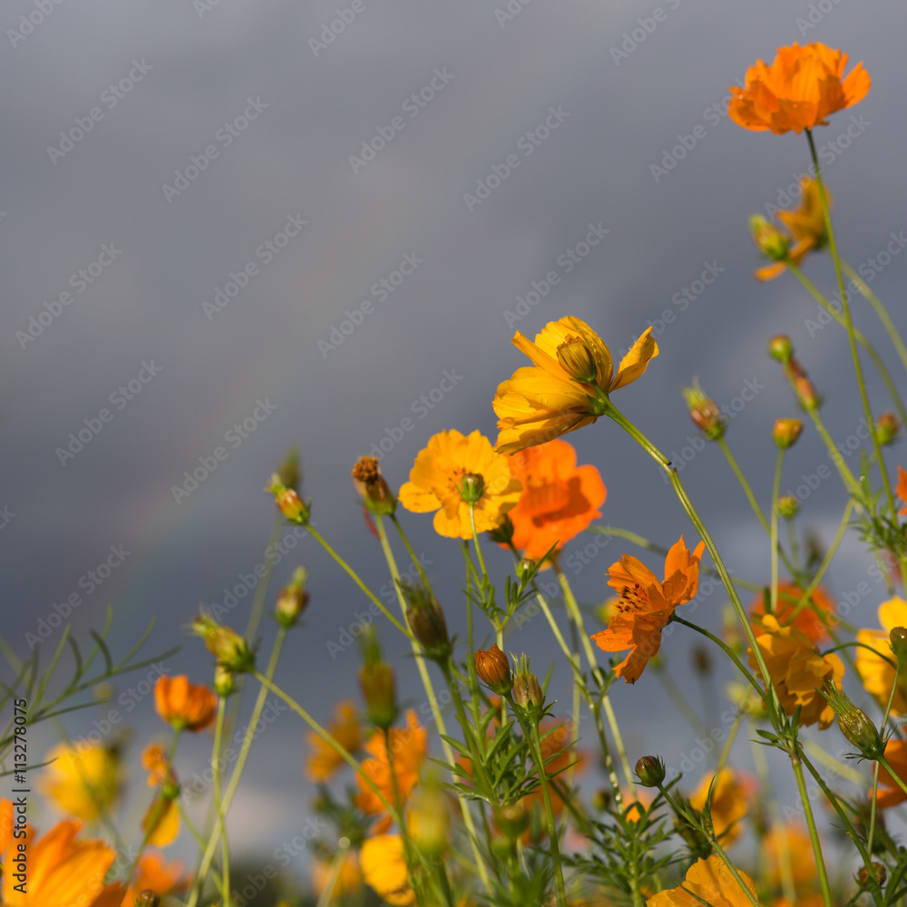 Yellow And Orange Cosmos Flowers After A Rain Storm Grey Clouds And