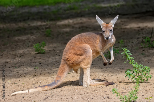 Foto op Canvas Kangoeroe Kangaroo in the clearing