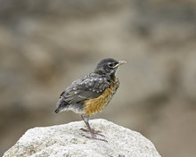 Juvenile American Robin (Turdus Migratorius), Gunnison County, Colorado