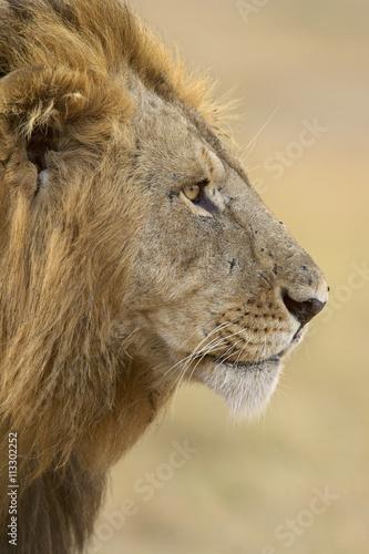 Lion (Panthera leo), Masai Mara National Reserve, Kenya, East Africa, Africa Poster