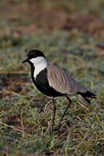 Spur-Winged Plover (Spur-Winged Lapwing) (Vanellus Spinosus), Masai Mara National Reserve, Kenya