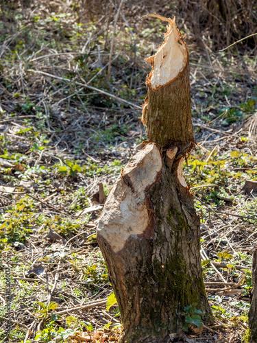 Fotografía  Biber veursachen Schäden an Bäumen