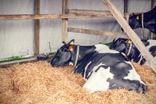Cows Lying In Hay