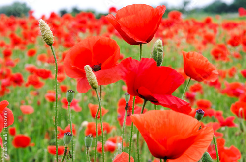 Tuinposter Rood Summer happiness: meadow with red poppies :)