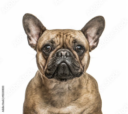Poster Bouledogue français French Bulldog isolated on white
