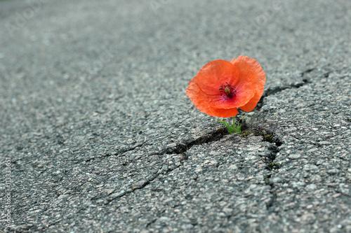 In de dag Poppy Mohnblume auf der Straße