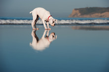 Boxer Standing On Beach Wet Sand With Reflections