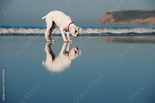Photo  Boxer standing on beach wet sand with reflections