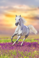 Fototapeta Koń White horse run gallop in flowers against sunset sky