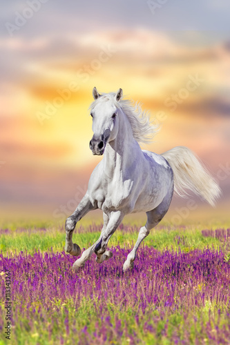 White horse run gallop in flowers against sunset sky - 113343267