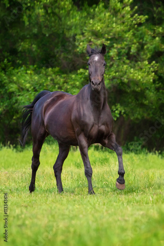 obraz dibond Black horse run gallop against trees in green field