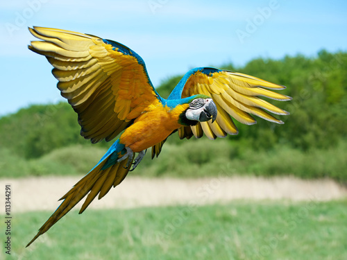 Foto op Canvas Papegaai Blue and yellow Macaw (Ara ararauna)