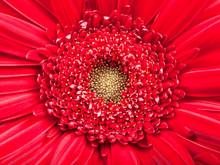 Yellow Center Of Red Gerbera Flower Close Up