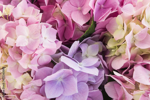 Spoed Foto op Canvas Hydrangea Hydrangea Flowers Closeup, Background