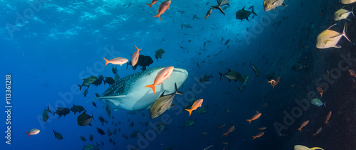 Plakat Rekin wielorybi