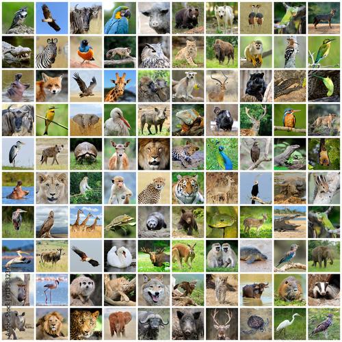 Fototapeta premium Kolaż 100 zdjęć dzikiej przyrody