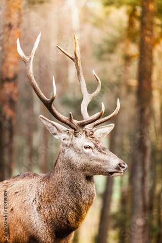 In de dag Hert Red deer stag in autumn fall forest