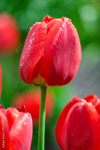 Fresh Spring tulips flowers with water drops in the garden - 113395420