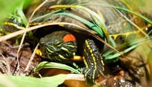 Lounging Red Ear Slider