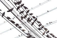 Group Of Pigeon On An Electric Wire Isolated On White
