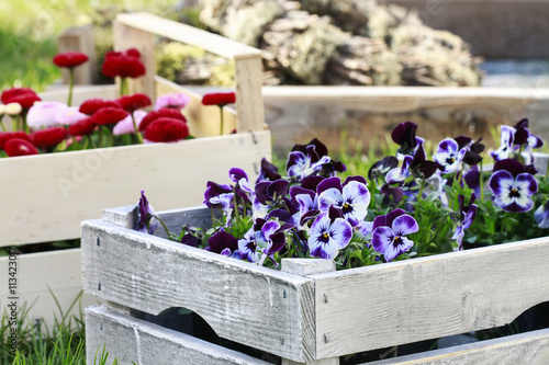 Papiers peints Pansies Boxes with spring flowers in the garden.