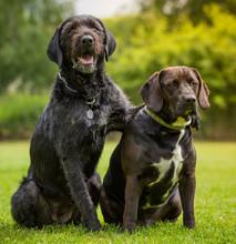 Black Dogs Posing Together.