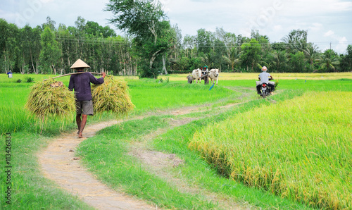 The unidentified farmer is harvesting rice in the fields in Mekong Delta, An Giang, Vietnam