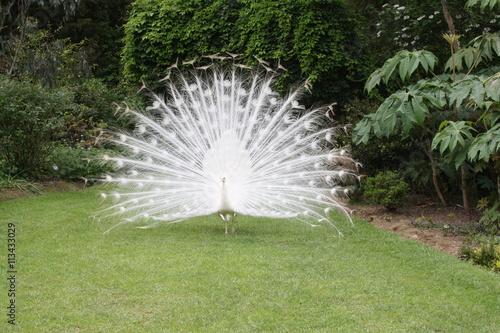 Fotografie, Obraz  le paon blanc