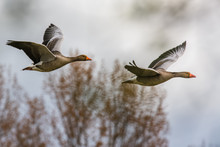 Graylag Geese In Flight
