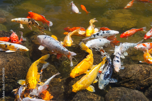 Fotografie, Obraz  Yellow, gold, red, and white Koi, also known as nishikigoi, domesticated common