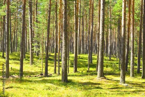 Garden Poster Forest Pine tree forest.
