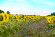 canvas print picture - viele Sonnenblumen auf einem Feld