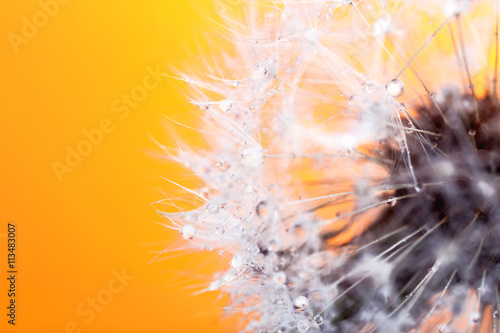 Dandelion seed head on color background, close up