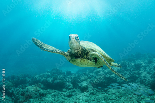 Turtle swimming in sea at Hawaii