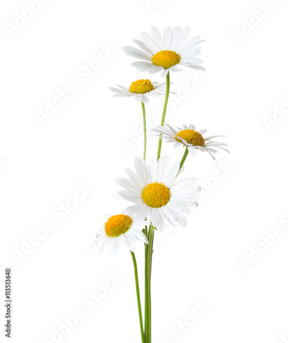 Five Chamomiles isolated on white background.