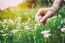 Woman Picking Up Flowers On A Meadow, Hand Close-up. Vintage Light