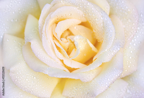 Macro photo of rose with drops of water. Beautiful yellow rose close-up. - 113528619