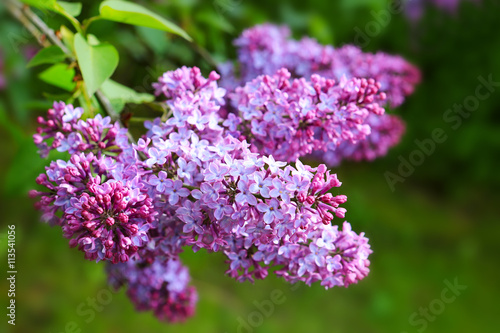 Foto op Canvas Lilac Lilac flowers isolated on green.