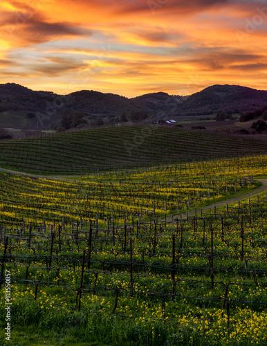 Fotografie, Obraz  Colorful sunset at Napa California vineyard filled with mustard