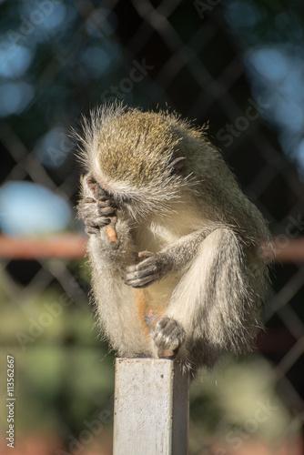 Fotografie, Obraz  Vervet nonkey on fence