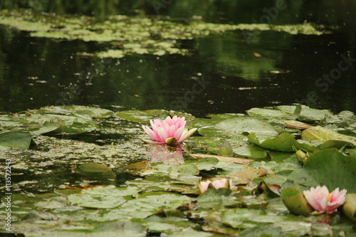 Photo Stands Water lilies Seerosen 12