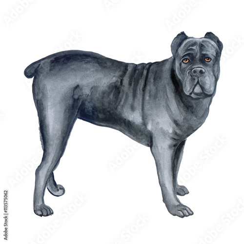 Watercolor Closeup Portrait Of Large Cane Corso Breed Dog Isolated On White Background Large Shorthair Working Guard Dog From Italy Hand Drawn Sweet Home Pet Greeting Birthday Card Design Clip Art