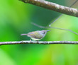 canvas print picture - Bird Black-throated Sunbird (Aethopyga saturata)