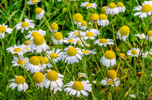 Flowering German Chamomile In ...