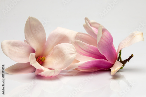 Foto op Plexiglas Magnolia Beautiful magnolia flowers
