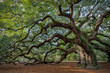 Leinwanddruck Bild - Large southern live oak (Quercus virginiana) near Charleston, South Carolina